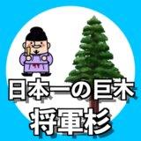 聖徳太子の時代から自生する日本一の巨木「将軍杉」は新潟県屈指のパワースポット!