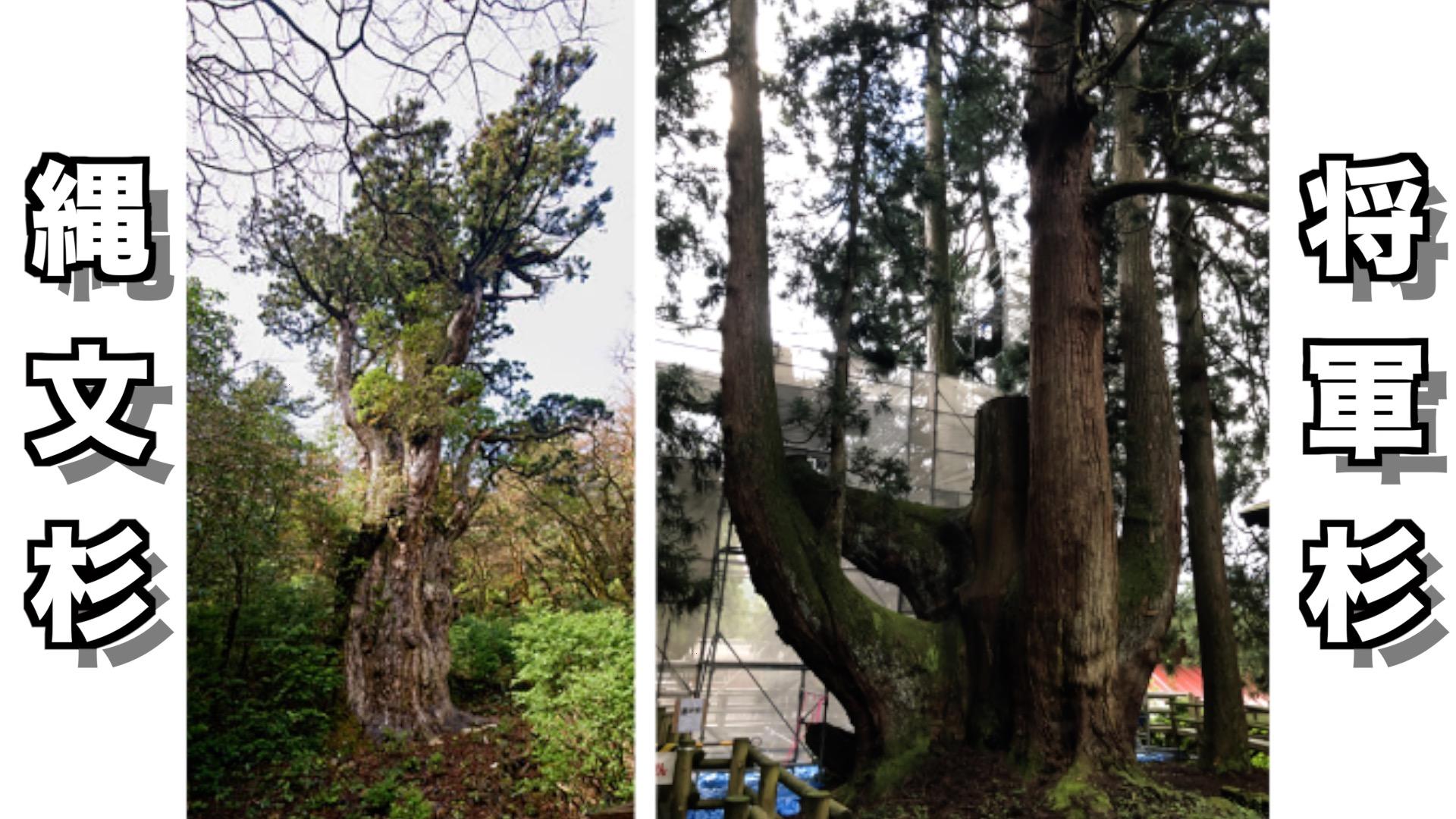 日本一の杉は縄文杉ではなくて将軍杉だった理由